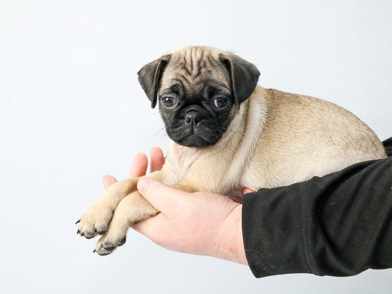 Pug-Male-Fawn-2686908-My Next Puppy