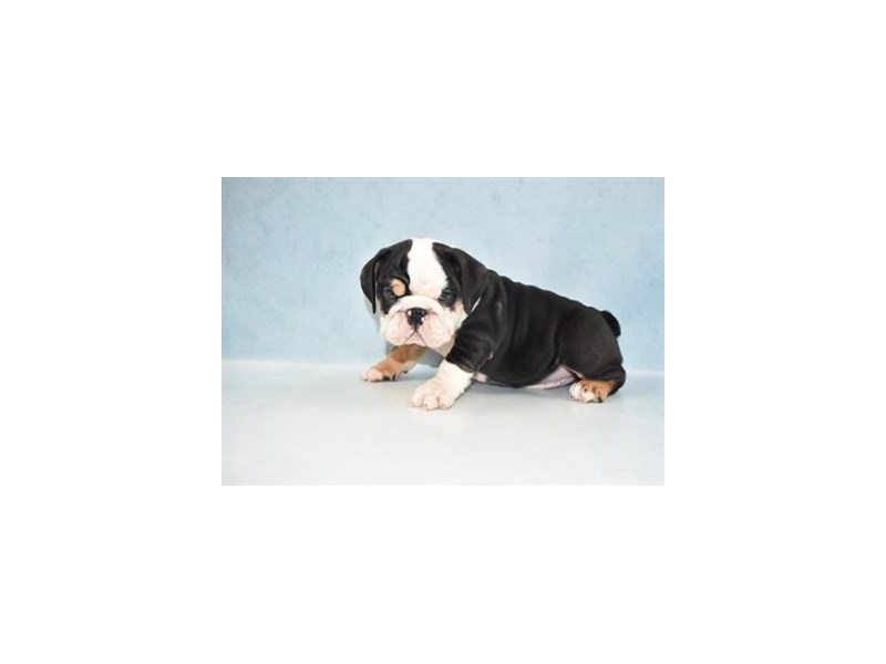 English Bulldog-Male-Black Red and White-2694309-My Next Puppy