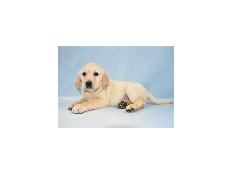 Labrador Retriever – Cassava