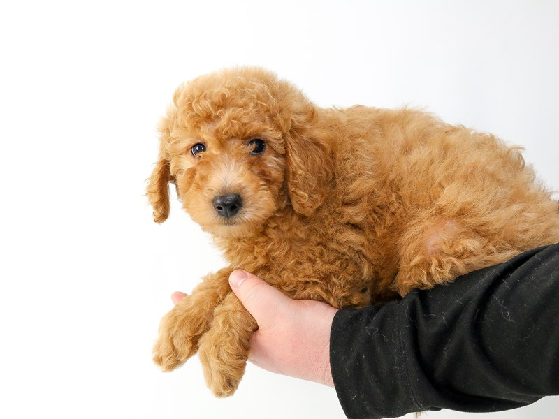2nd Generation Mini Goldendoodle – Goji