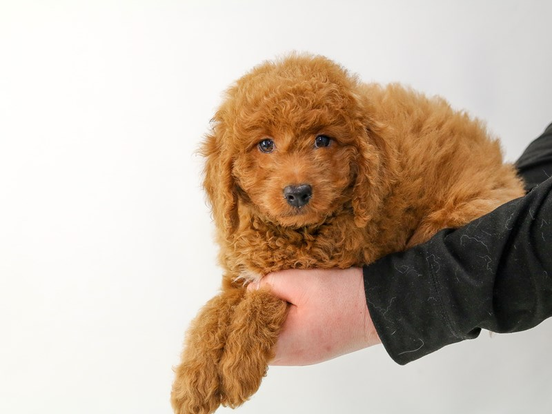 2nd Generation Mini Goldendoodle-Female-Red-2693421-My Next Puppy