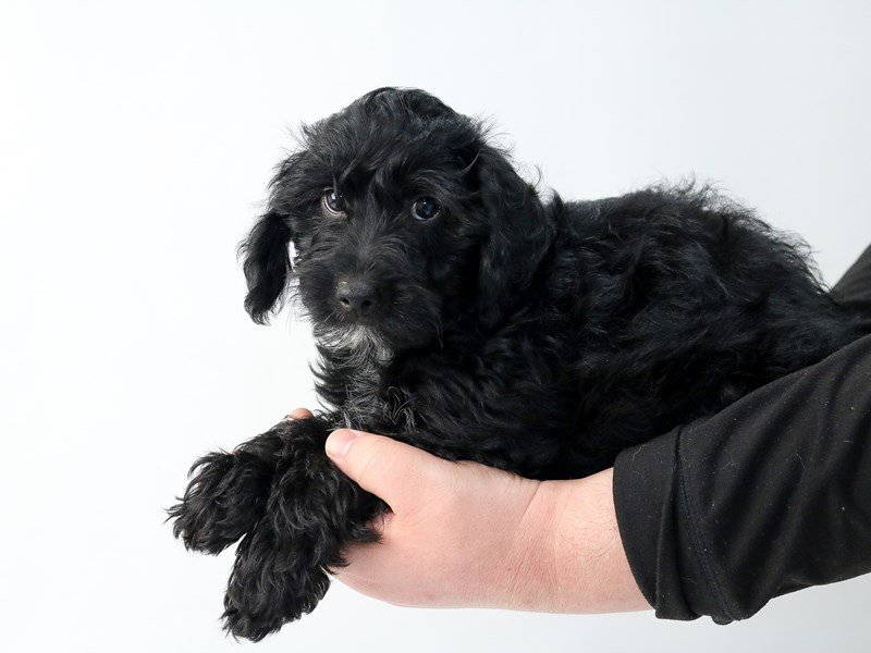 Yorkiepoo-Male-BLK-2693730-My Next Puppy