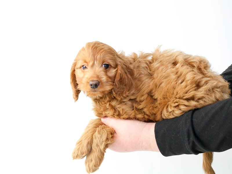 2nd Generation Mini Goldendoodle – Fennel