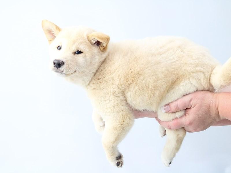 Shiba Inu-Male-Cream-2707557-My Next Puppy