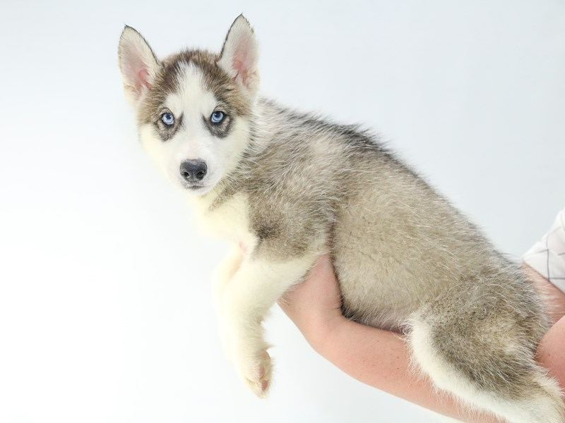 Siberian Husky-Male-Agouti / White-2707554-My Next Puppy