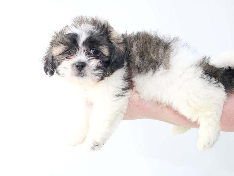 Havashu-Male-White / Gold-2707558-My Next Puppy