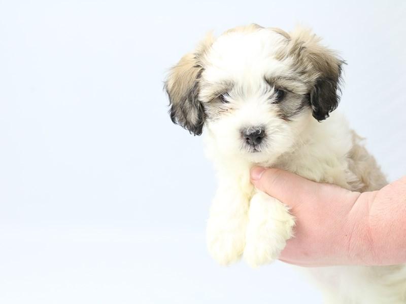 Teddy Bear-Female-brown white-2713398-My Next Puppy