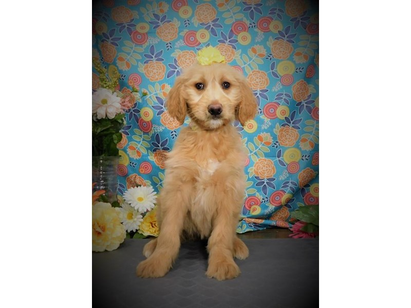 Goldendoodle-Female-Apricot-2722450-My Next Puppy