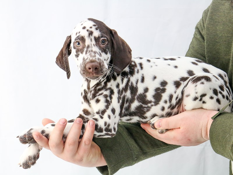 Dalmatian-Male-White / Liver-2655997-My Next Puppy