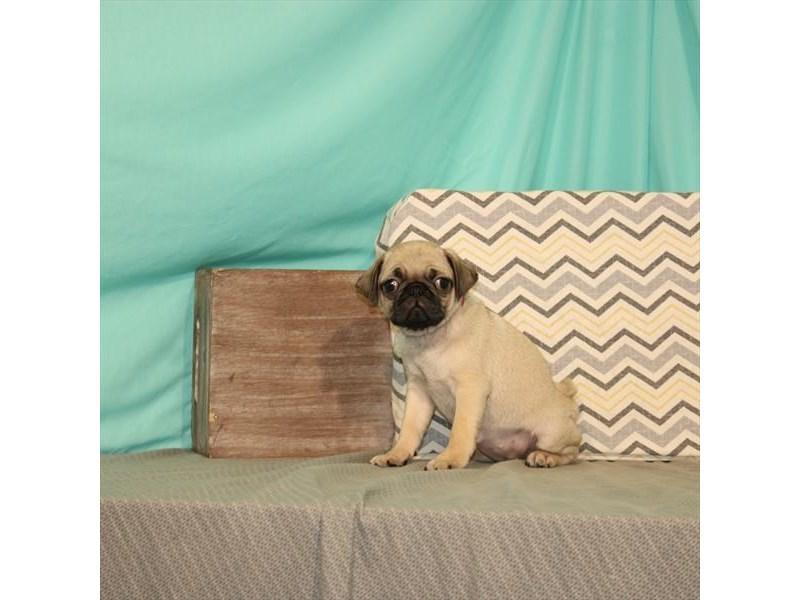 Pug-Female-Fawn-2661927-My Next Puppy