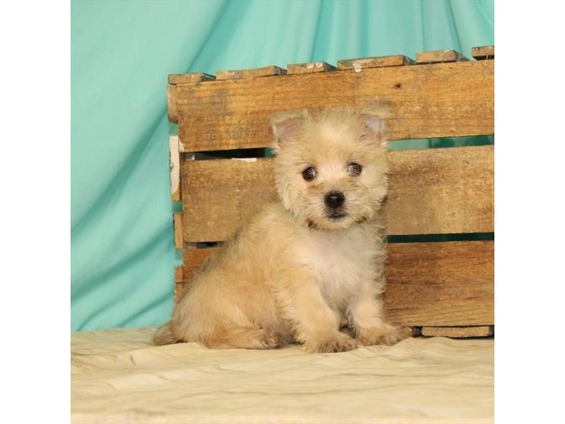 Cairn Terrier-Male-Wheaten-2680408-My Next Puppy