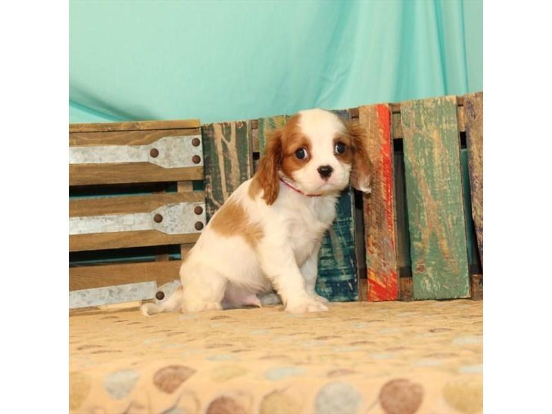 Cavalier King Charles Spaniel-Male-Blenheim / White-2694105-My Next Puppy