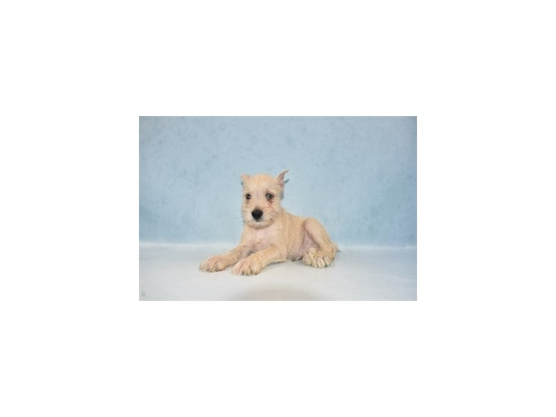 Miniature Schnauzer-Male-White-2694335-My Next Puppy