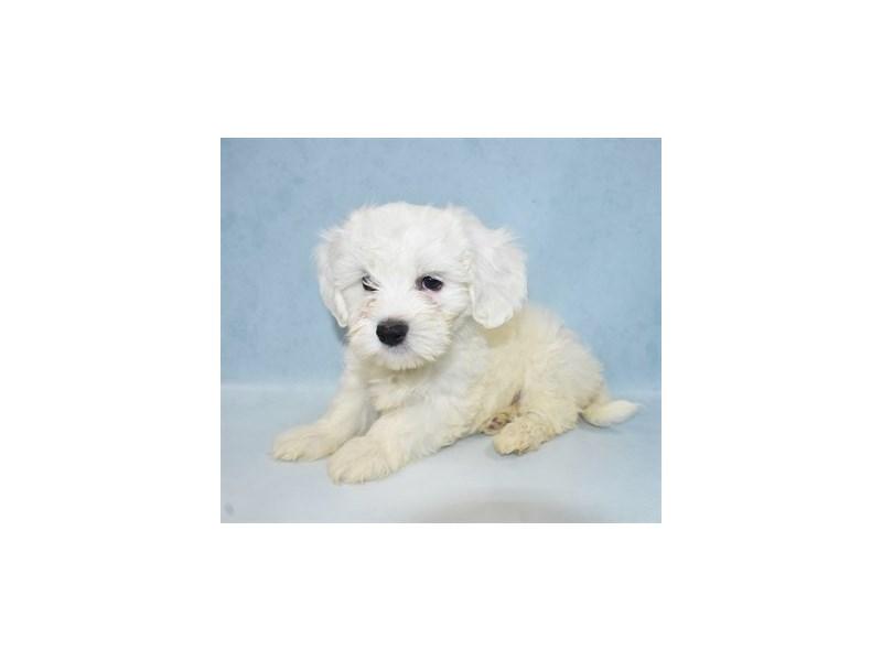 Coton De Tulear-Female-White-2694349-My Next Puppy