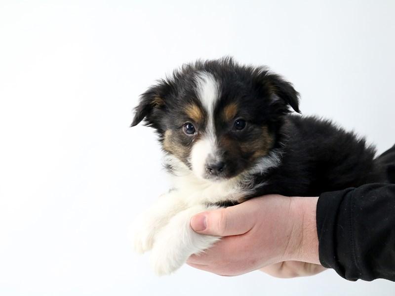 Miniature Australian Shepherd – Radicchio
