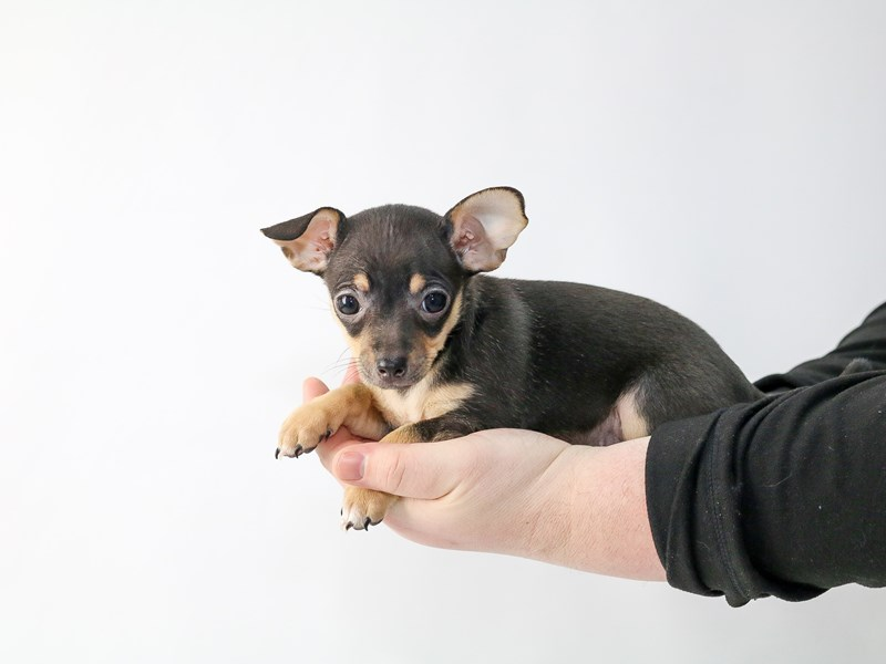 Chihuahua-Female-Black and Tan-2697821-My Next Puppy