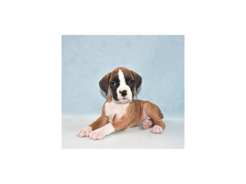Boxer-Female-Fawn-2706963-My Next Puppy