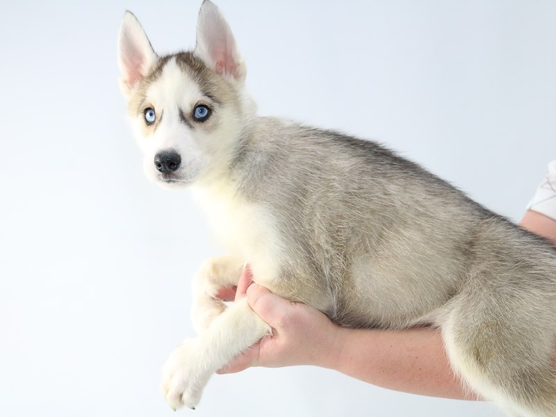 Siberian Husky-Male-Agouti / White-2707555-My Next Puppy