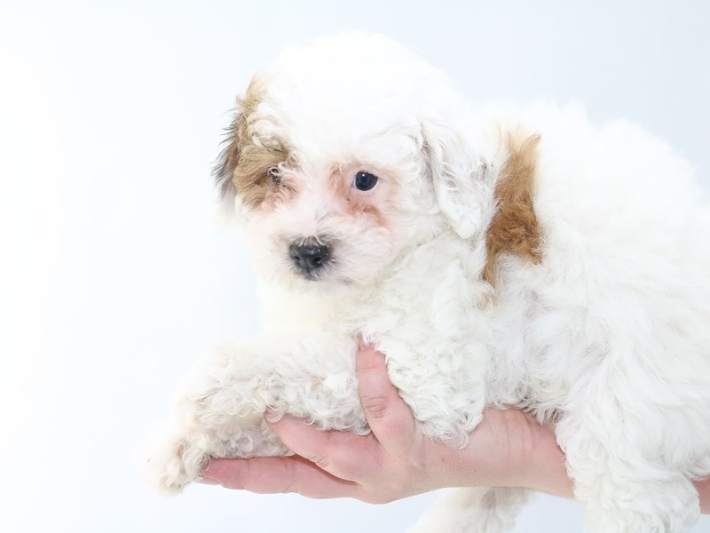 Poochon-Male-RED WHITE-2706617-My Next Puppy