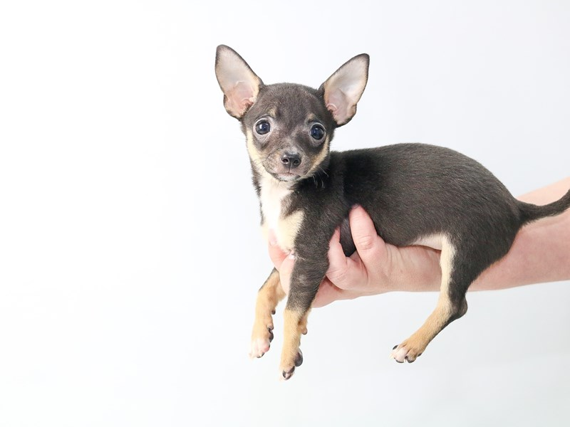 Chihuahua – My Next Puppy