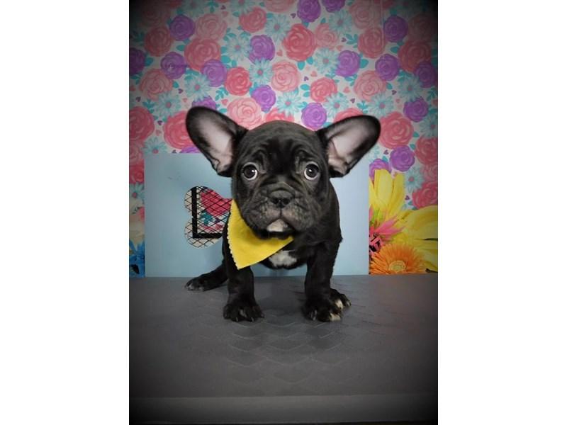 French Bulldog-Male-Black-2714714-My Next Puppy