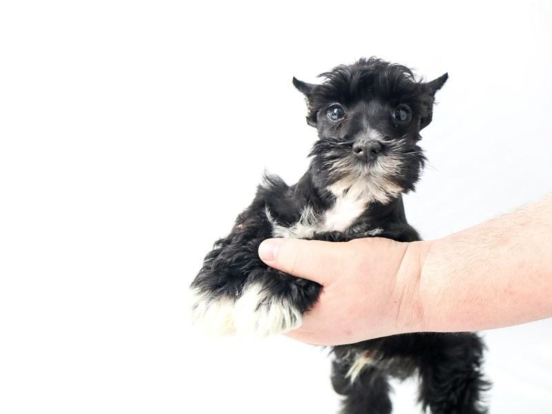 Miniature Schnauzer-Male-BLK-2713761-My Next Puppy