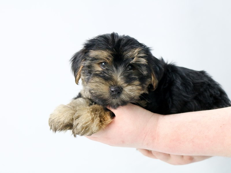 Yorkshire Terrier-Male-BLK TAN-2713420-My Next Puppy