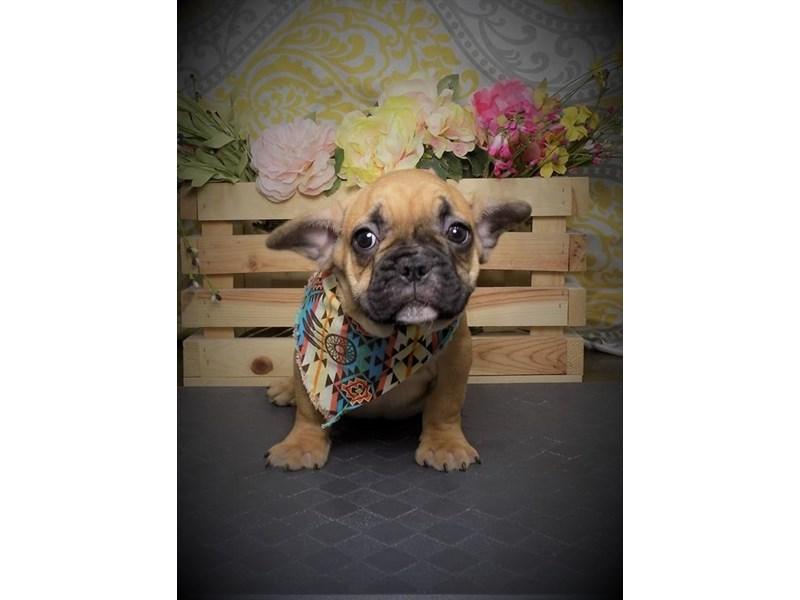 French Bulldog-Male-Fawn-2722448-My Next Puppy