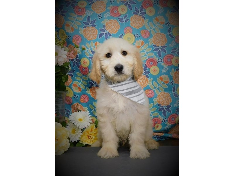 Goldendoodle-Male-Cream-2722452-My Next Puppy