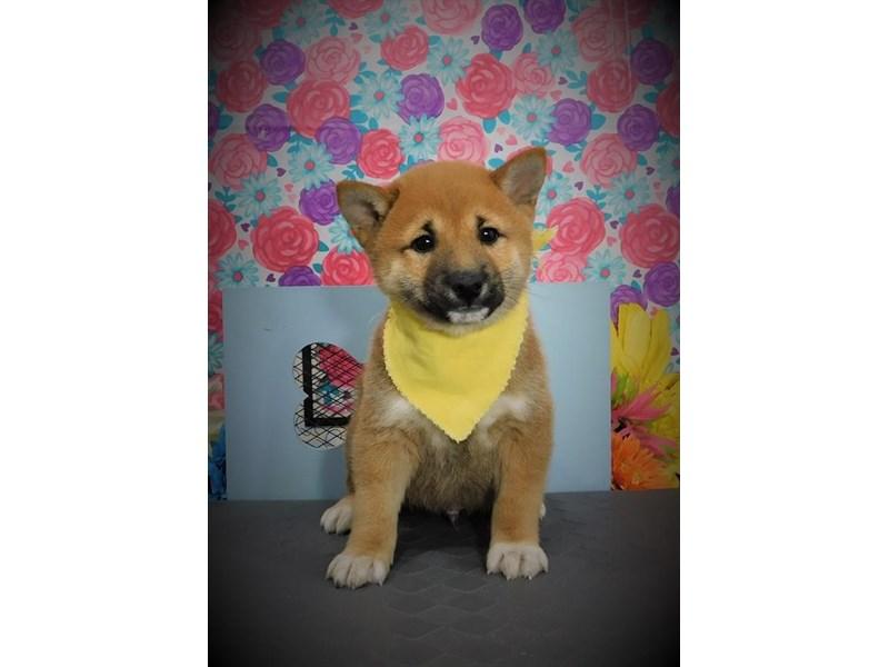 Shiba Inu-Male-Red Sesame-2722460-My Next Puppy