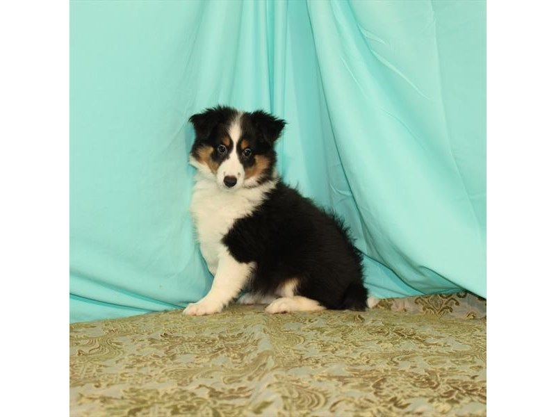 Shetland Sheepdog-Female-Black / Tan-2722462-My Next Puppy