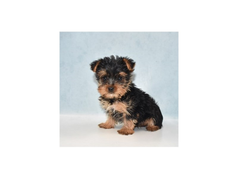 Yorkshire Terrier-Male-Black and Tan-2727232-My Next Puppy
