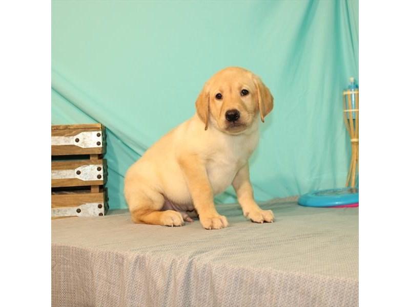 Labrador Retriever-Male-Yellow-2731553-My Next Puppy
