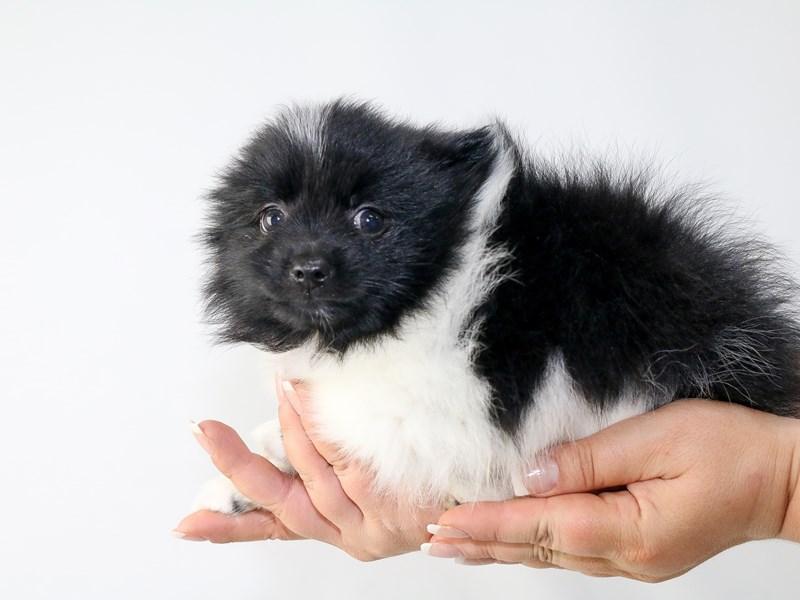 Pomeranian-Male-BLK WHITE-2727608-My Next Puppy