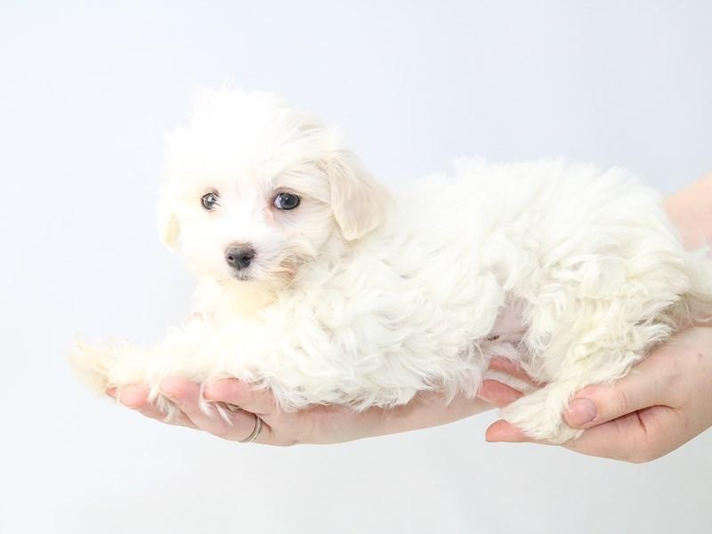 Maltese-Female-White-2721095-My Next Puppy