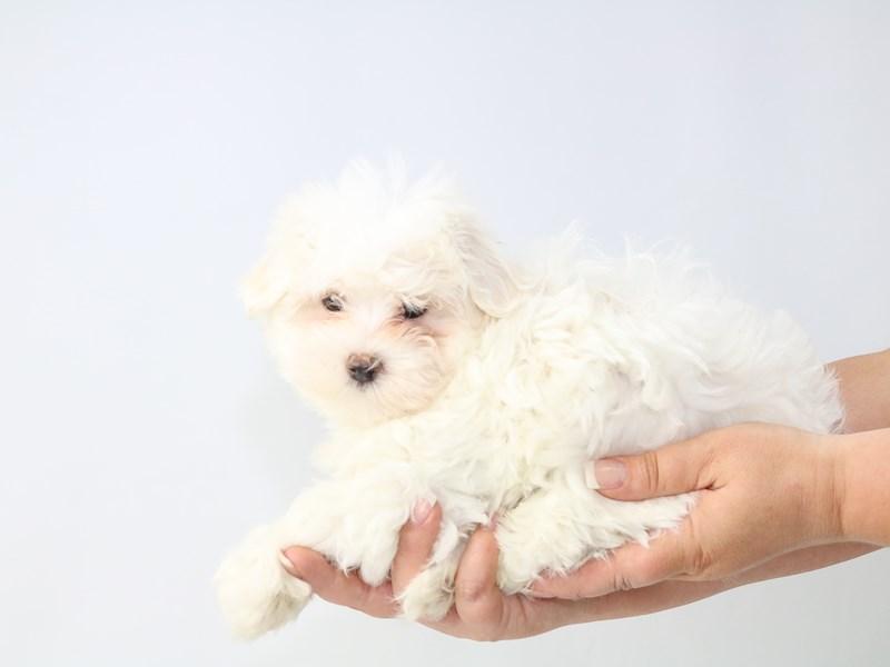 Maltese-Male-White-2721093-My Next Puppy
