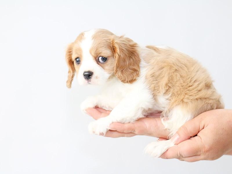 Cavalier King Charles Spaniel-Female-BLENHEIM-2721063-My Next Puppy