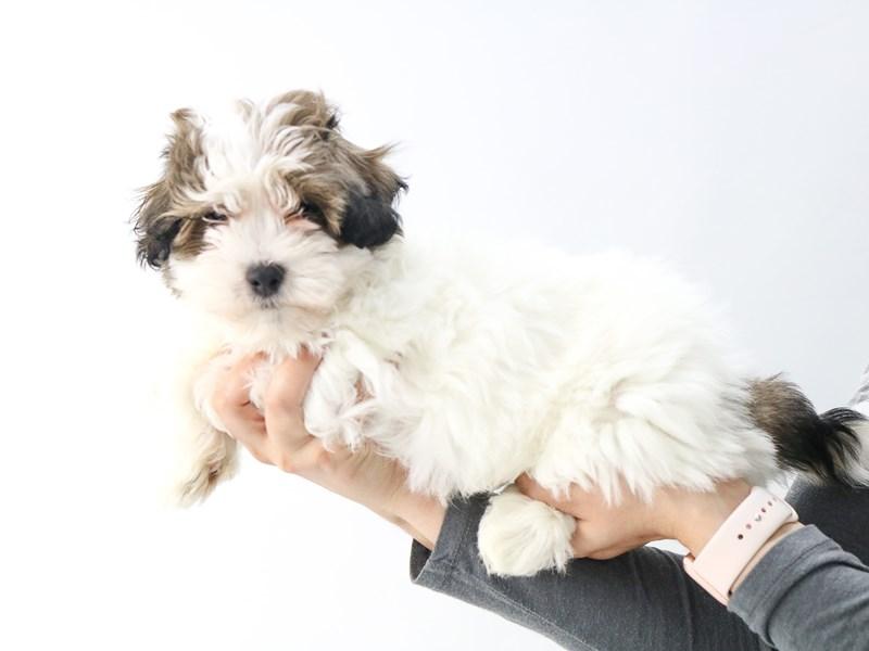 Teddy Bear-Male-Brown White-2721107-My Next Puppy