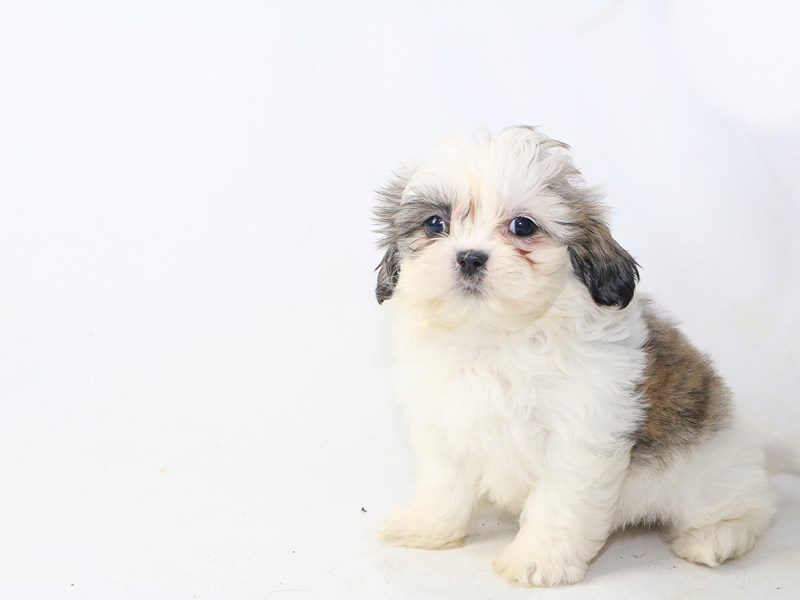 Shih Tzu-Female-Brown White-2726981-My Next Puppy