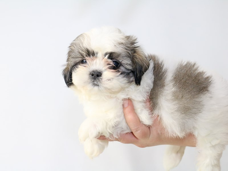 Shih Tzu-Male-Brown White-2726980-My Next Puppy