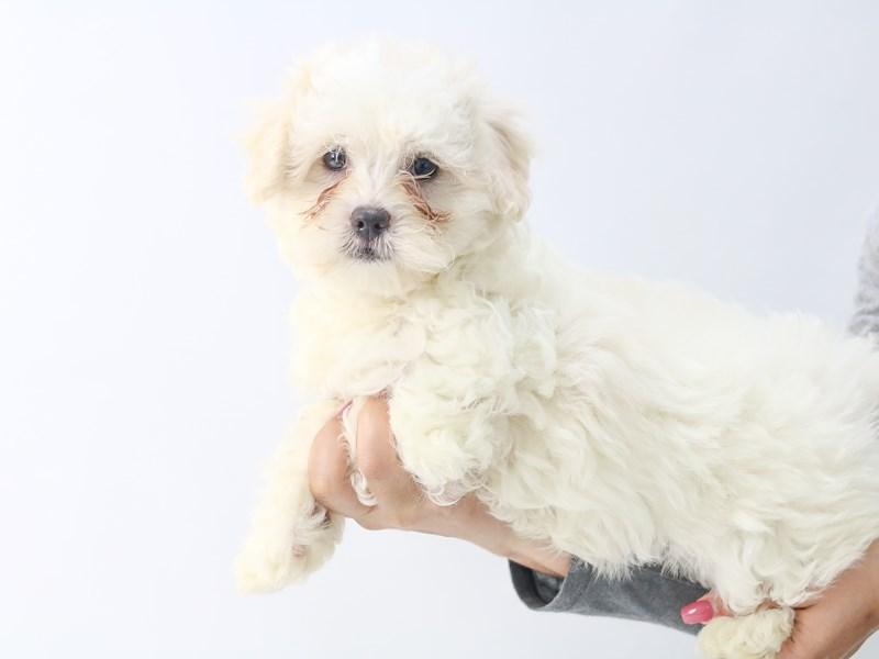 Teddy Bear-Female-CREAM-2721124-My Next Puppy