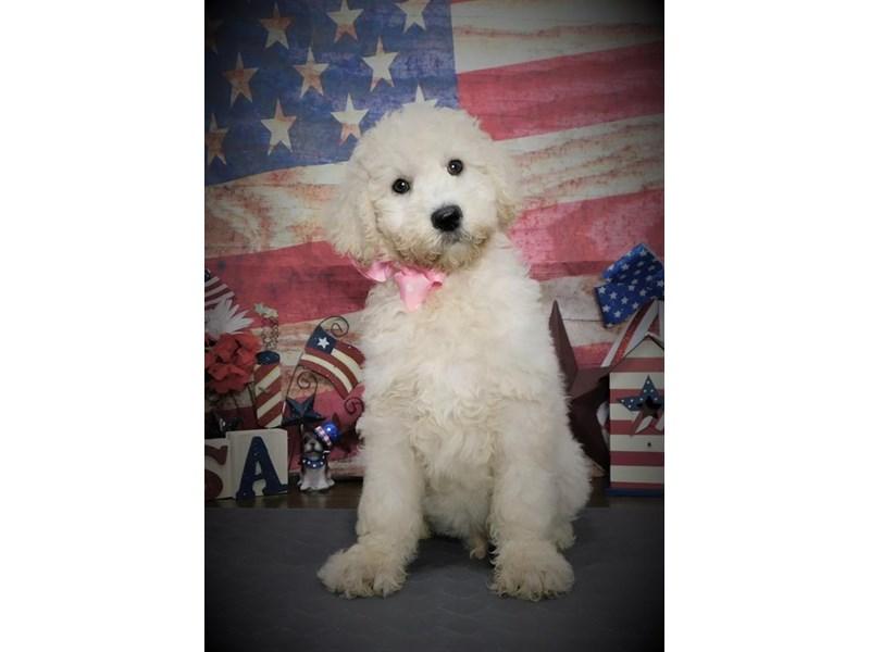 Goldendoodle 2nd Gen-Female-Cream-2736453-My Next Puppy