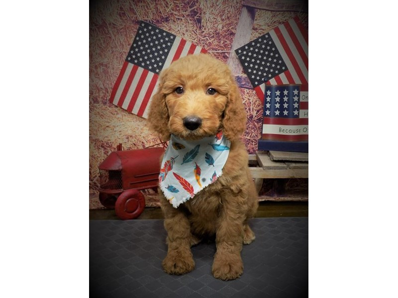 Goldendoodle 2nd Gen-Male-Apricot-2736454-My Next Puppy