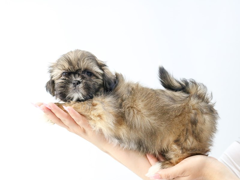 Shih Tzu-Male-BRN WH-2734254-My Next Puppy