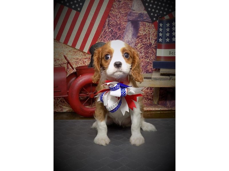 Cavalier King Charles Spaniel – Butterfly