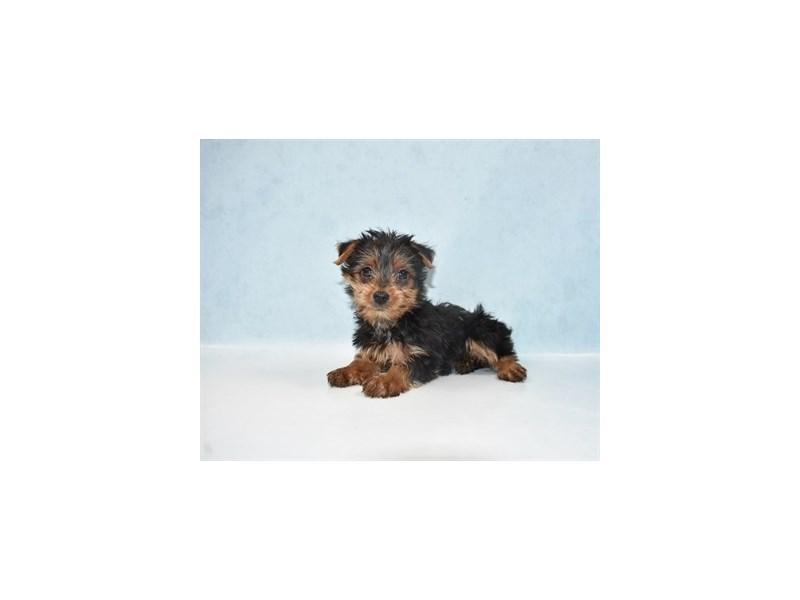 Yorkshire Terrier – Caper