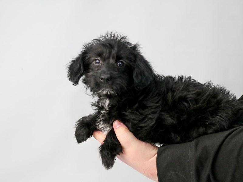 Corgipoo-Female-Black-2686940-My Next Puppy
