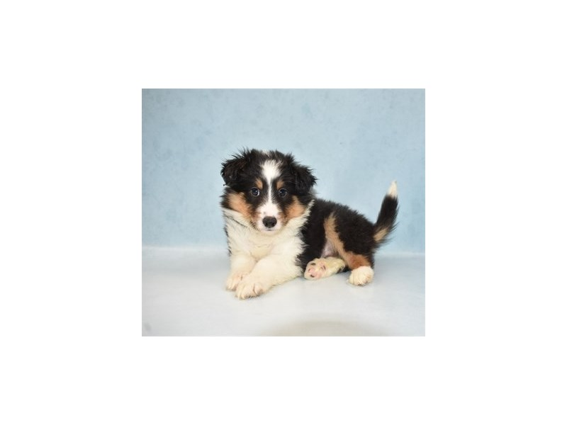 Shetland Sheepdog-Male-Black White and Tan-2694341-My Next Puppy