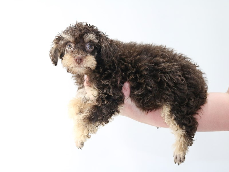 Poodle-Male-Chocolate / Tan-2707559-My Next Puppy