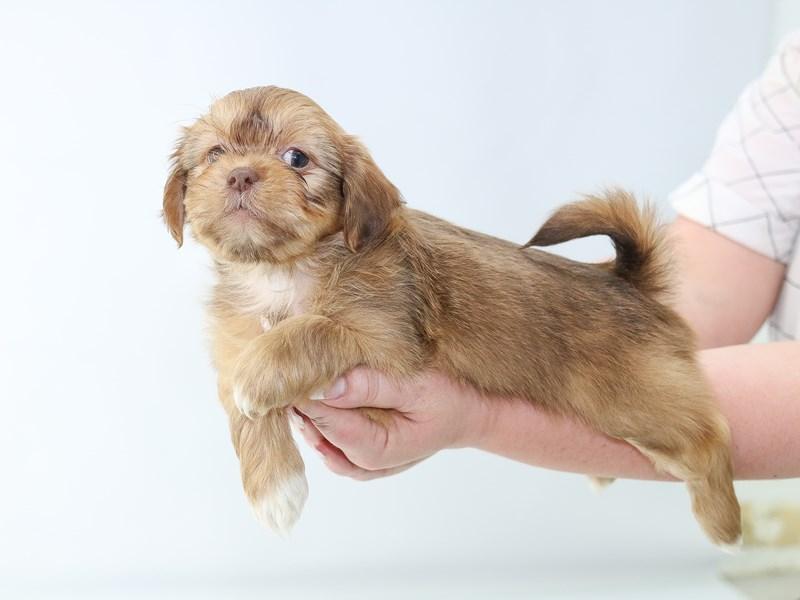 Shorkie-Male-beige-2706577-My Next Puppy